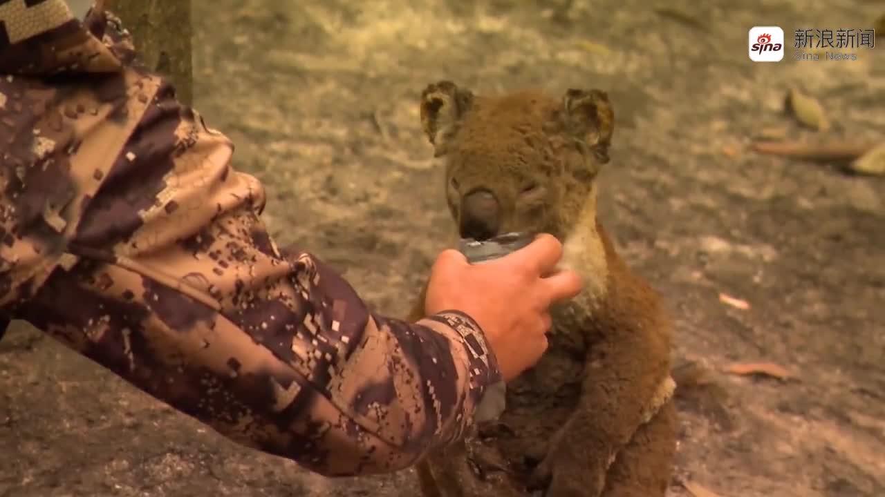 视频-心碎!被澳洲山火烧伤的小考拉抱头坐在树下