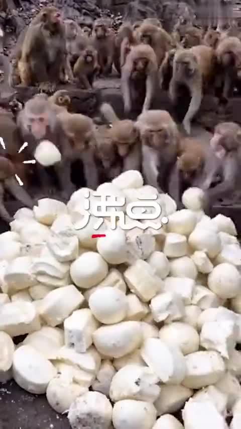 视频:萌翻!贵阳黔灵山猴子们的馒头宴 猴子井然有
