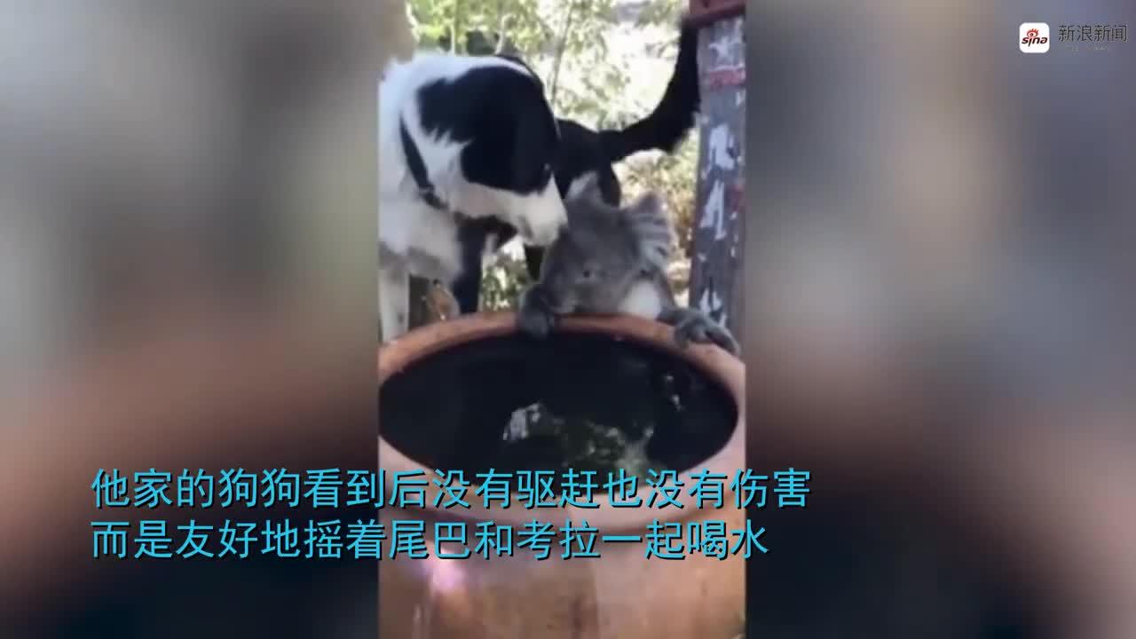 视频-饥渴考拉闯入民宅狂喝水 狗狗发现后舔鼻子安