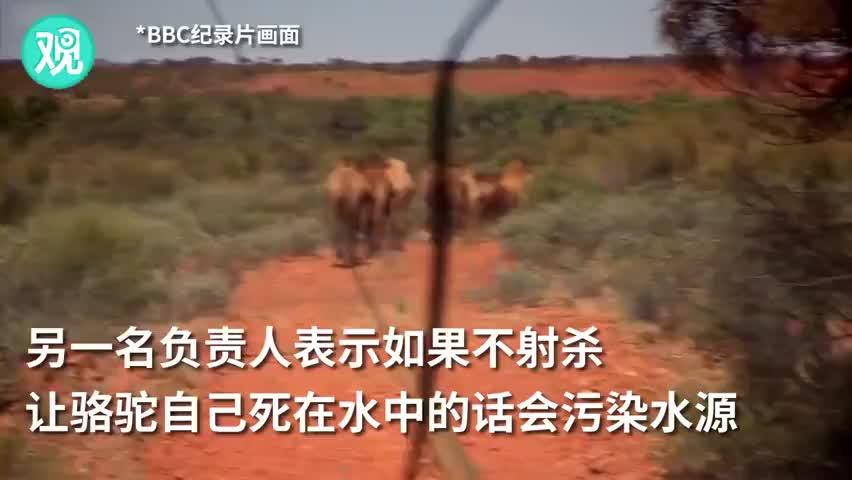 视频-澳大利亚已射杀超5000头骆驼 BBC:与