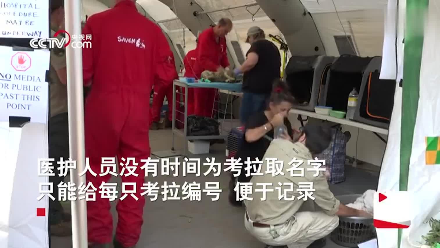 视频-走进澳大利亚临时考拉医院:一些考拉因伤重而