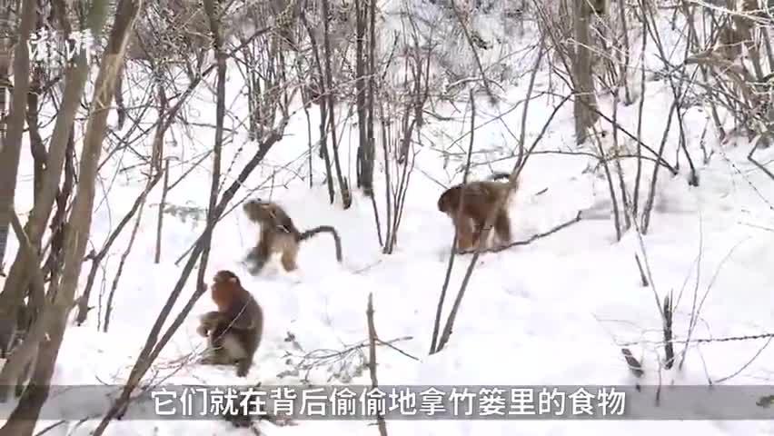 视频-神农架国家公园投放越冬口粮 金丝猴排排坐等