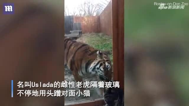 视频-都是猫!俄罗斯老虎隔着玻璃和小猫亲密蹭额头