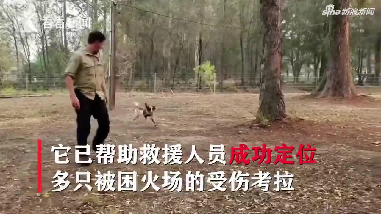 视频-澳洲山火持续 狗狗救援军靠嗅觉寻找受伤考拉