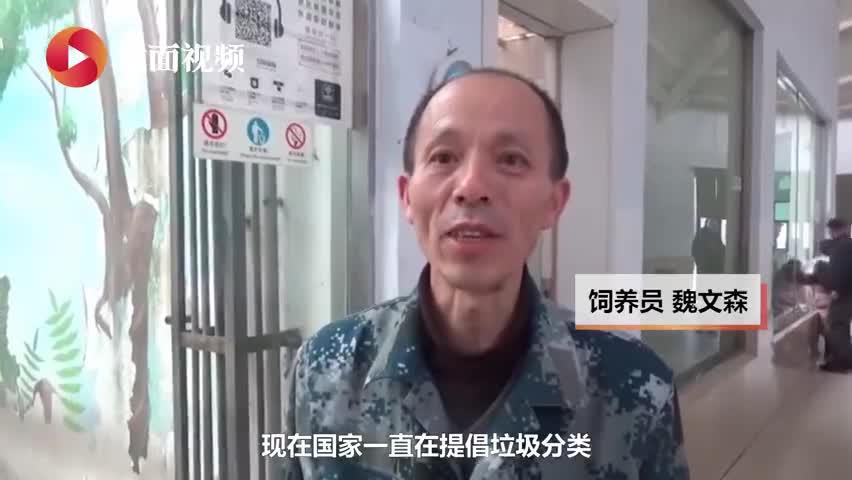视频-郑州动物园黑猩猩学会垃圾分类 网友:这让我