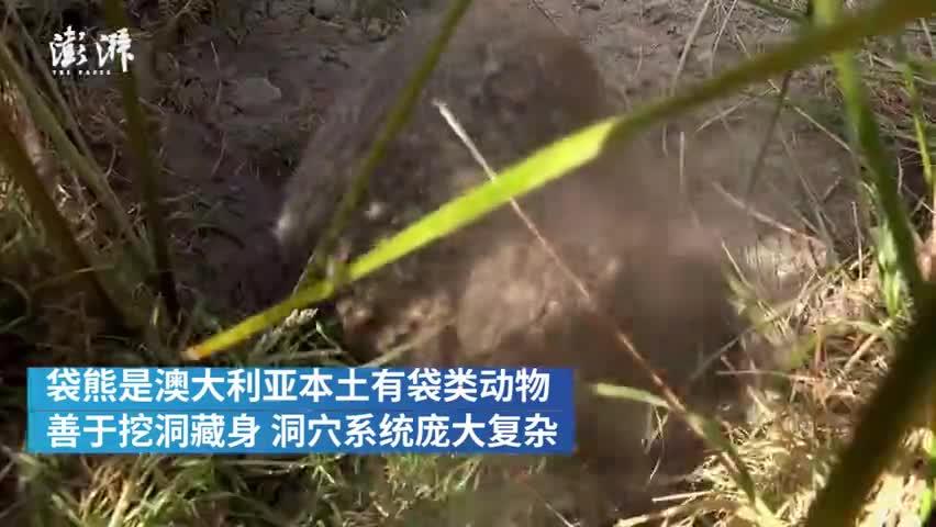 视频-提供巢穴避火 袋熊成为澳大利亚动物界英雄