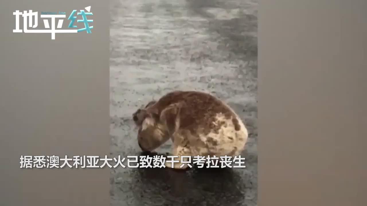视频-澳大利亚下雨 小考拉跑到马路舔水喝
