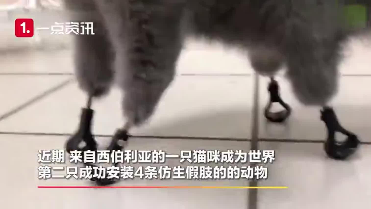 视频-因冻伤失去四爪 俄罗斯兽医为猫咪安装4条仿