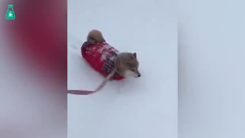 视频-当柴犬遇上雪