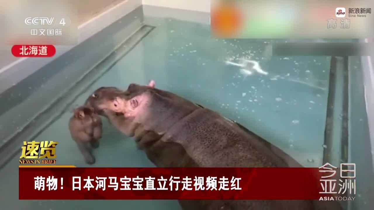 视频-太可爱了!日本河马宝宝直立行走视频走红