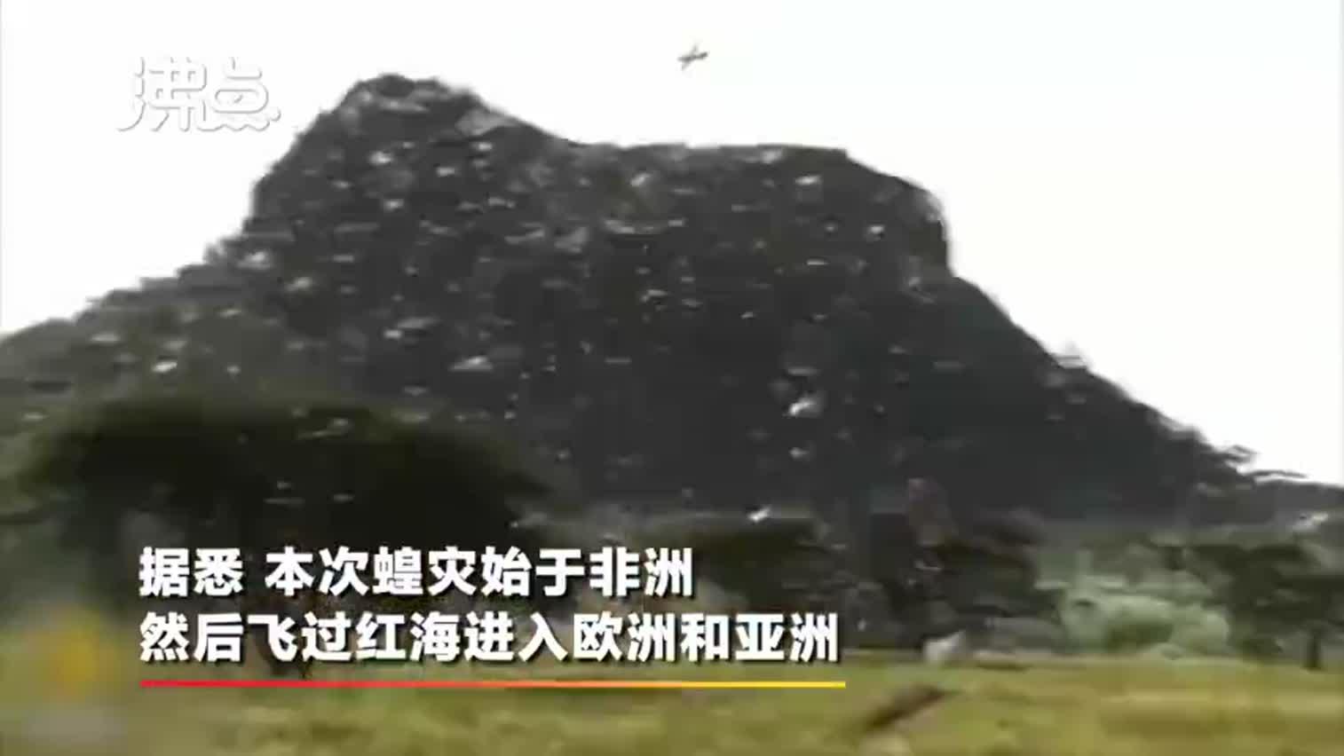 视频-4000亿只蝗虫已到达印度和巴基斯坦  据