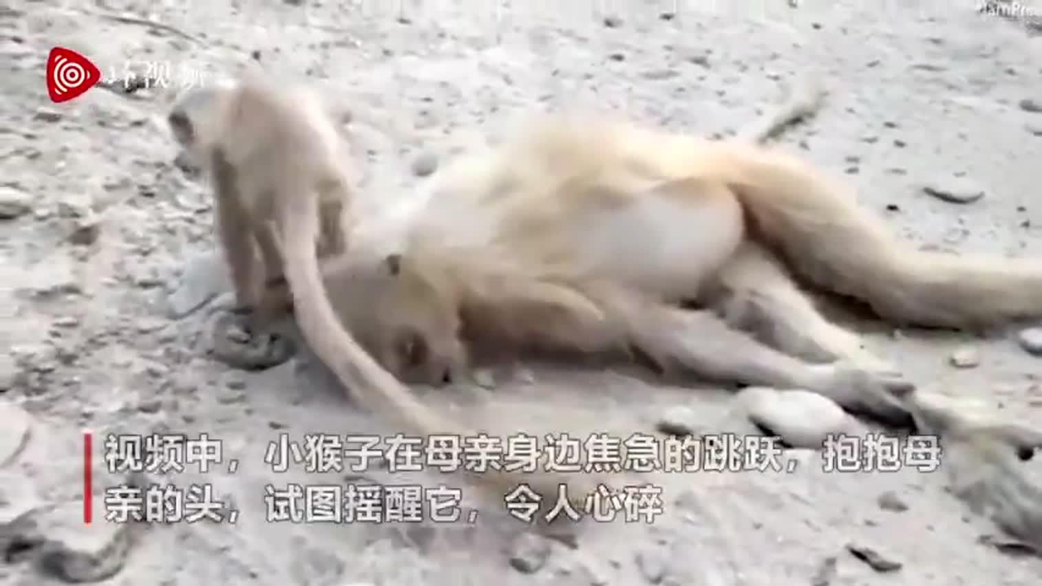 视频-印度母猴触电身亡 幼崽抱着妈妈头试图唤醒