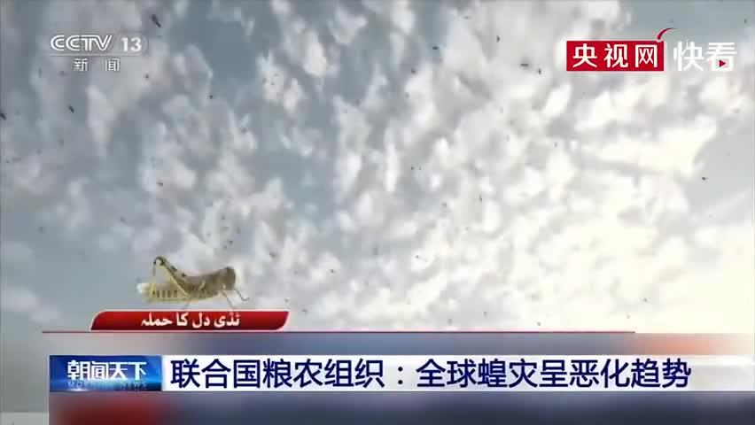 视频 印度蝗灾目前已得到控制 但6月蝗灾威胁可能