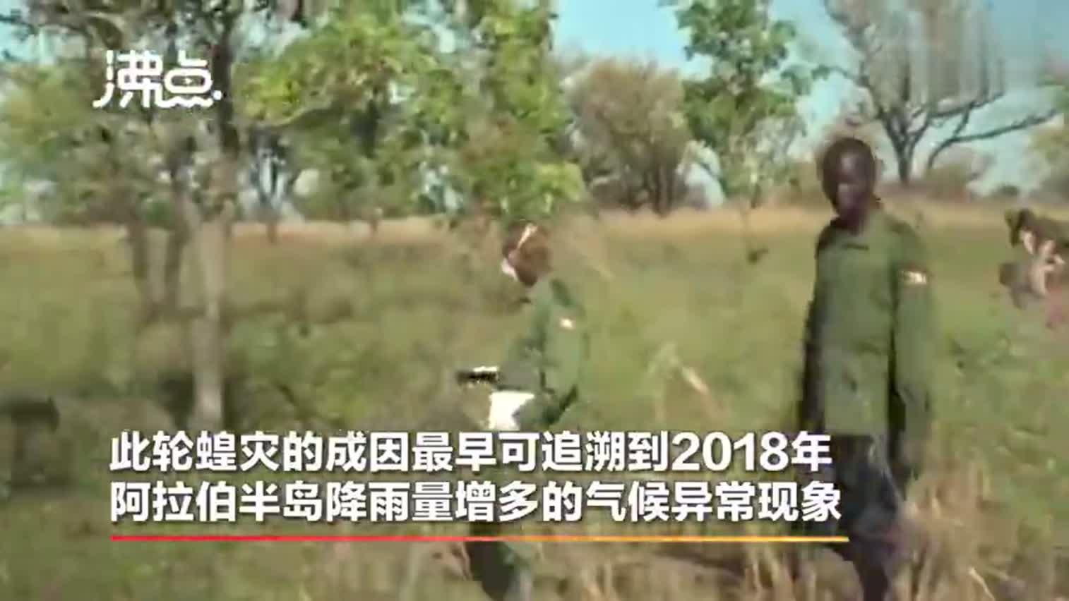视频-蝗灾肆虐! 专家担忧:6月沙漠蝗虫数量将增