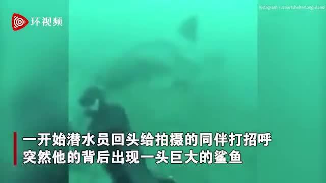 视频|鲨鱼突然从浑浊的海水中出现 潜水员的头差点