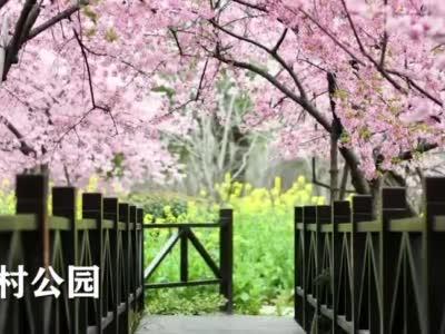 隔着屏幕都能闻到花香 上海各大公园云赏花C位出道