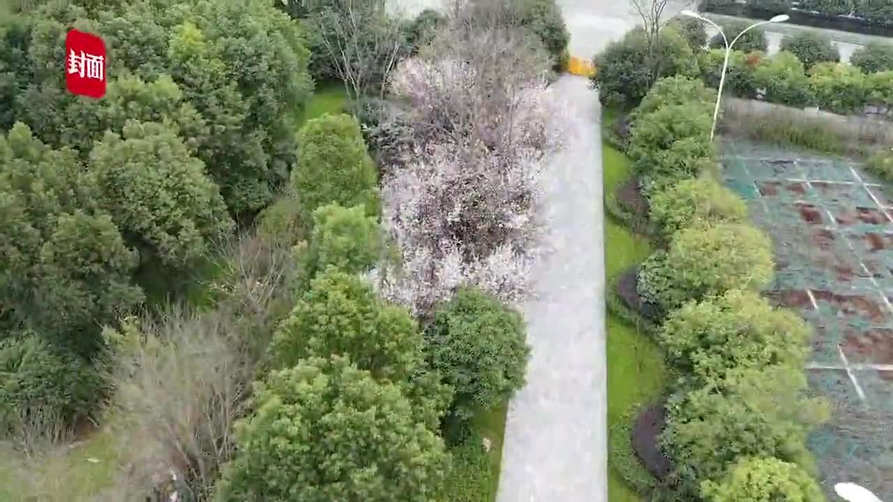 视频-航拍武汉大学樱花悄然开放 即将进入盛开期