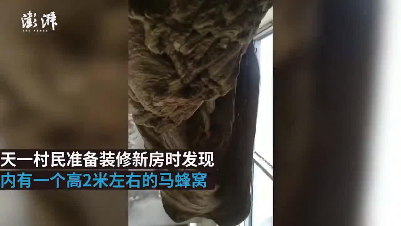 视频-洛阳民房内惊现2米高马蜂窝:乍一看像巨型怪
