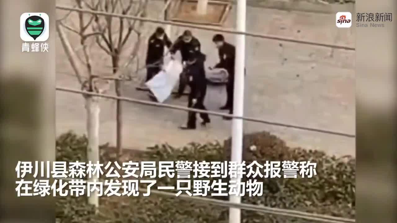 视频|胖乎乎的果子狸进城被围捕 民警将择机带其到