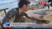 广东江门 白海豚沙滩搁浅 经救援