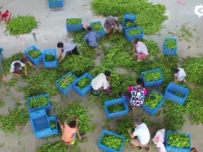 大半个湖南找辣椒 麦子园泡菜跟自己叫板