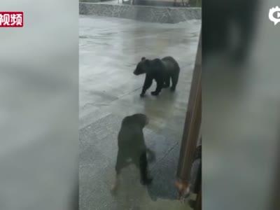 内蒙古大兴安岭:黑熊要入室 黑狗强阻拦