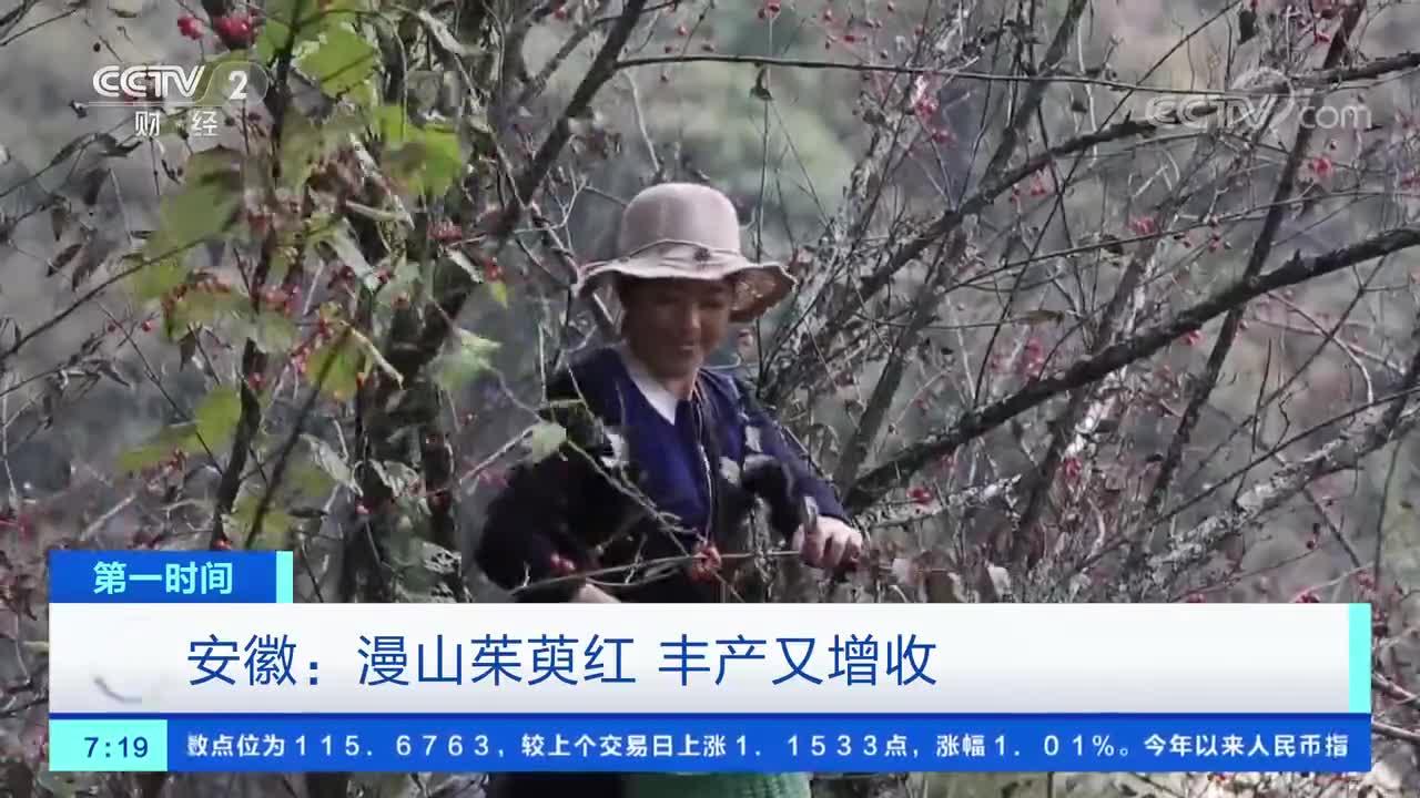 安徽:漫山茱萸红 丰产又增收