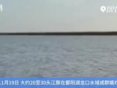 罕见!鄱阳湖龙口水域江豚成群嬉戏