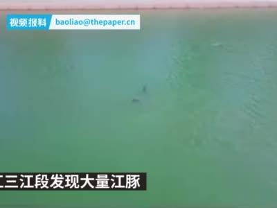 湖北宜昌长江三江段发现大量江豚
