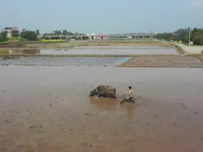 视频丨二月二,龙抬头,试验田中使耕牛