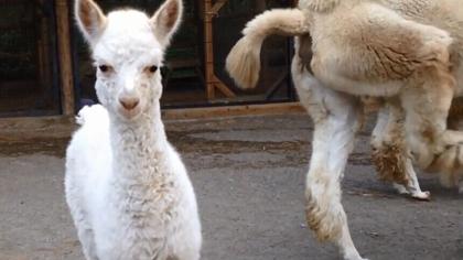 可爱小羊驼出生啦!