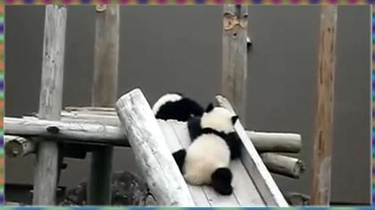 超可爱!小熊猫玩溜滑梯!