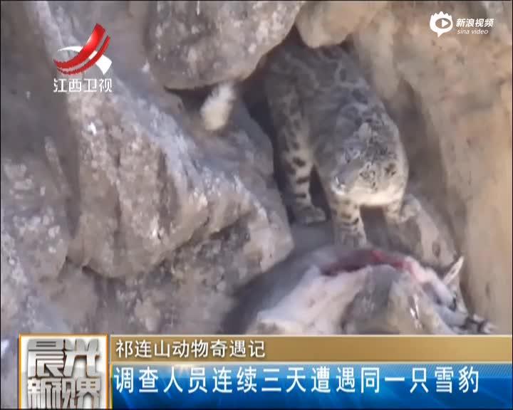 成年雪豹峭壁上捕食岩羊 发现被拍表情呆萌