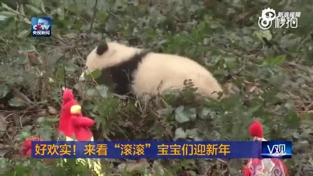 """熊猫宝宝们""""滚滚""""迎新年 追逐打闹实力圈粉"""