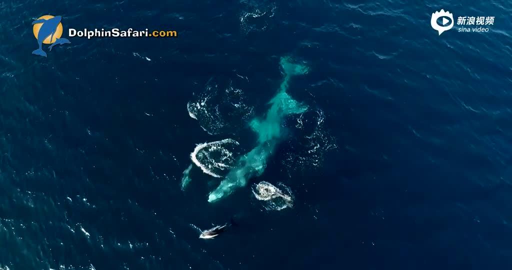 航拍:鲸鱼与海豚海面嬉戏同游 画面和谐