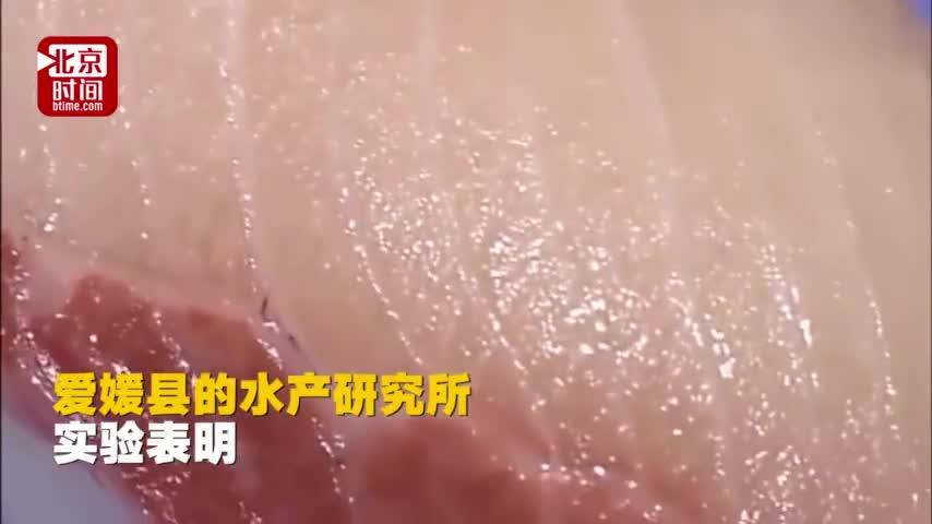 视频|日本寿司屋推出新品:将吃巧克力长大的鰤鱼做