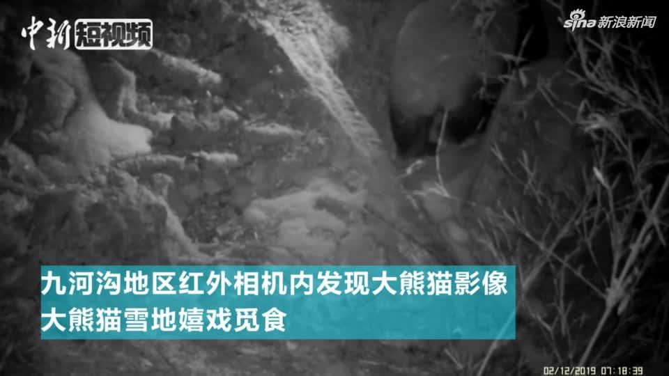视频:又见野生大熊猫!红外相机记录大熊猫雪中觅食