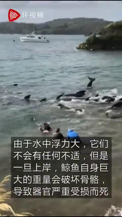 视频-新西兰数十头鲸鱼搁浅 在沙滩上艰难挣扎