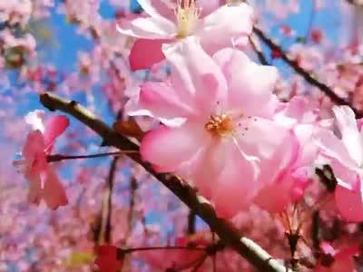 樱花樱花想见你...