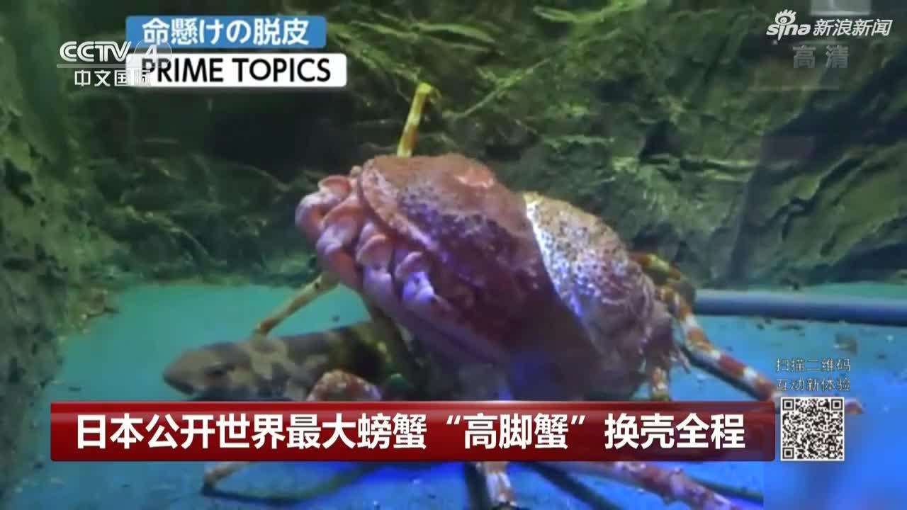 """视频-世界最大螃蟹""""高脚蟹""""换壳:小心翼翼用时八"""