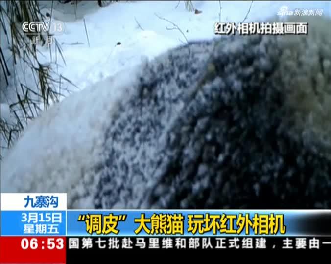 """视频-""""调皮""""大熊猫 玩坏红外相机"""