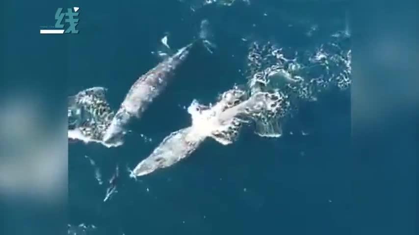 """视频-无人机拍下海豚和鲸鱼嬉戏画面:""""调皮""""一下"""