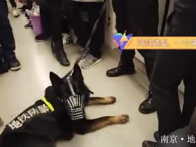 南京地铁3号线偶遇帅气警察威猛防爆警犬