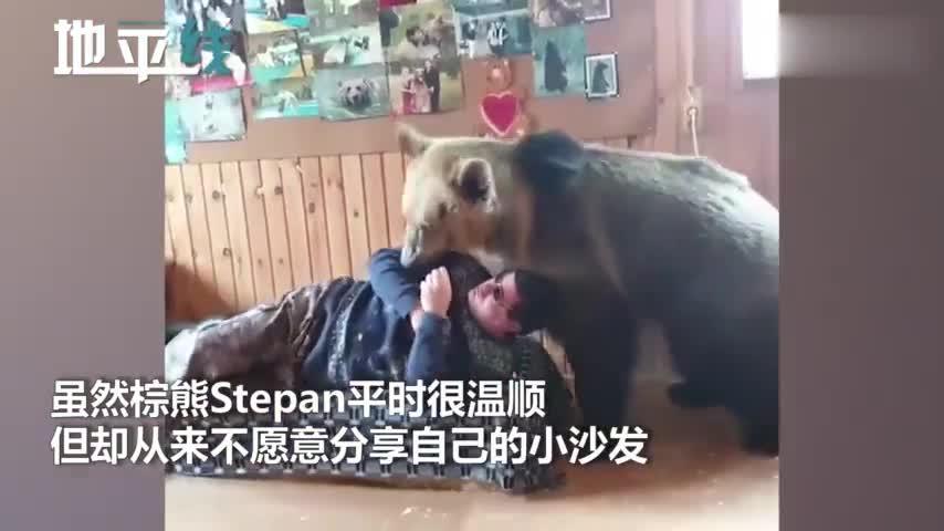 视频-磨人的大妖精!棕熊撒娇卖萌抢沙发 主人差点