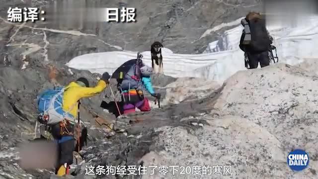 视频:狗生巅峰!登顶7000多米高峰 这是第一只