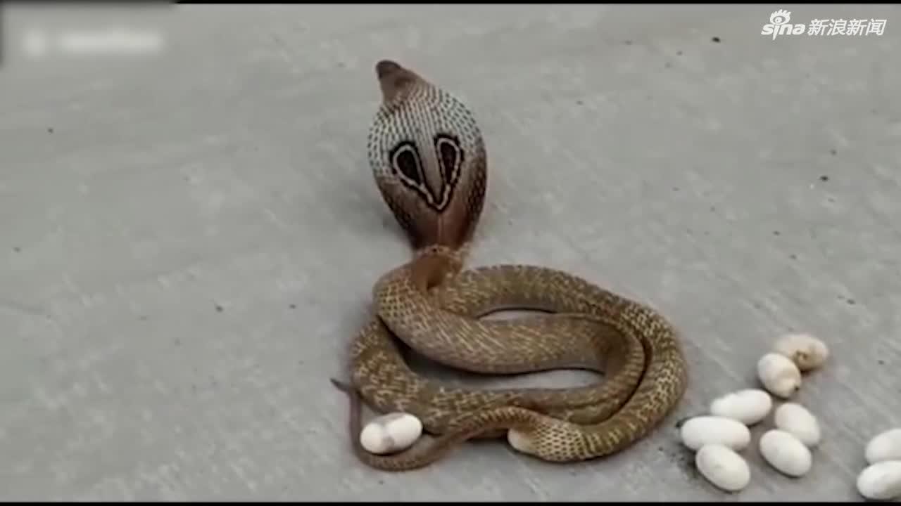 视频-印度怀孕眼镜蛇被赶出民宅 当街产下十余枚卵