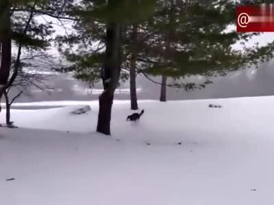哈士奇第一次见到下雪,兴奋的在雪地上跑来跑去,高兴坏了!
