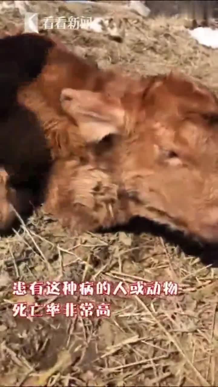 """视频-罕见!小牛出生后心脏在脖子上""""跳动"""" 全球"""