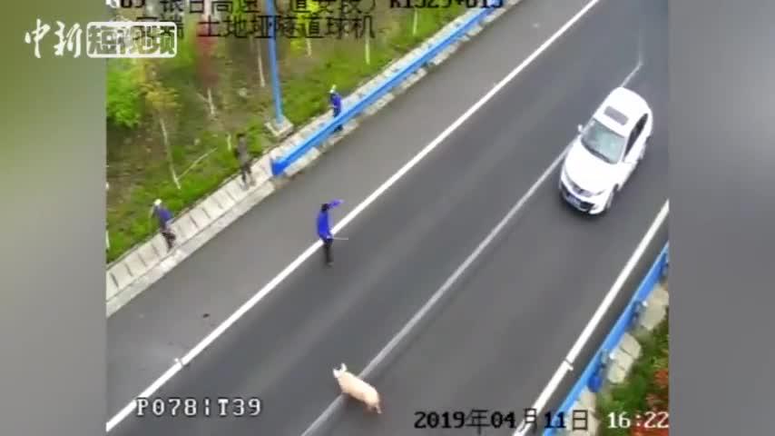 """视频-二师兄高速跳车""""大逃亡""""  交警:不要让猪"""