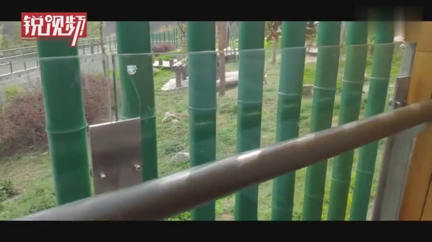 视频-大学生手摸大熊猫遭网友围攻其母回应:是熊